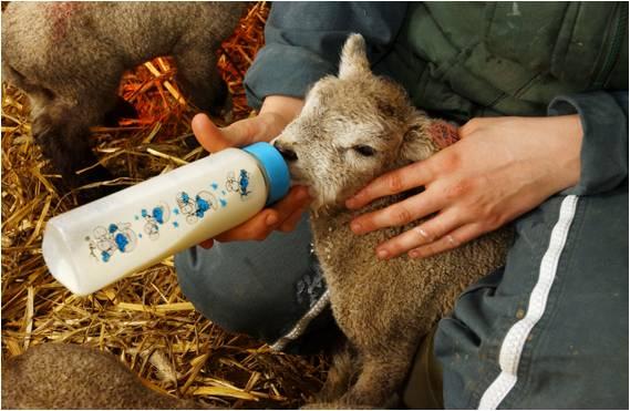 agneau éleveurs