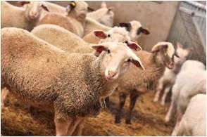 elevage agneau2